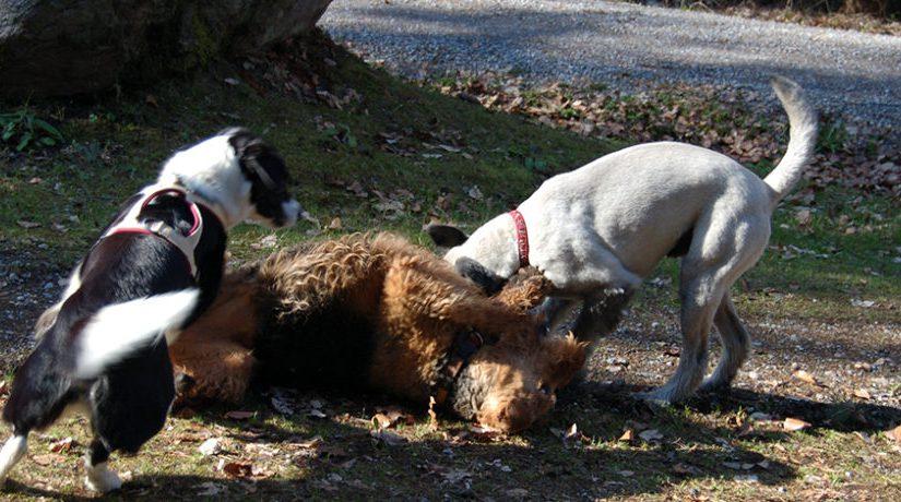 'Sociaal Contact' – Is de hond een roedeldier?